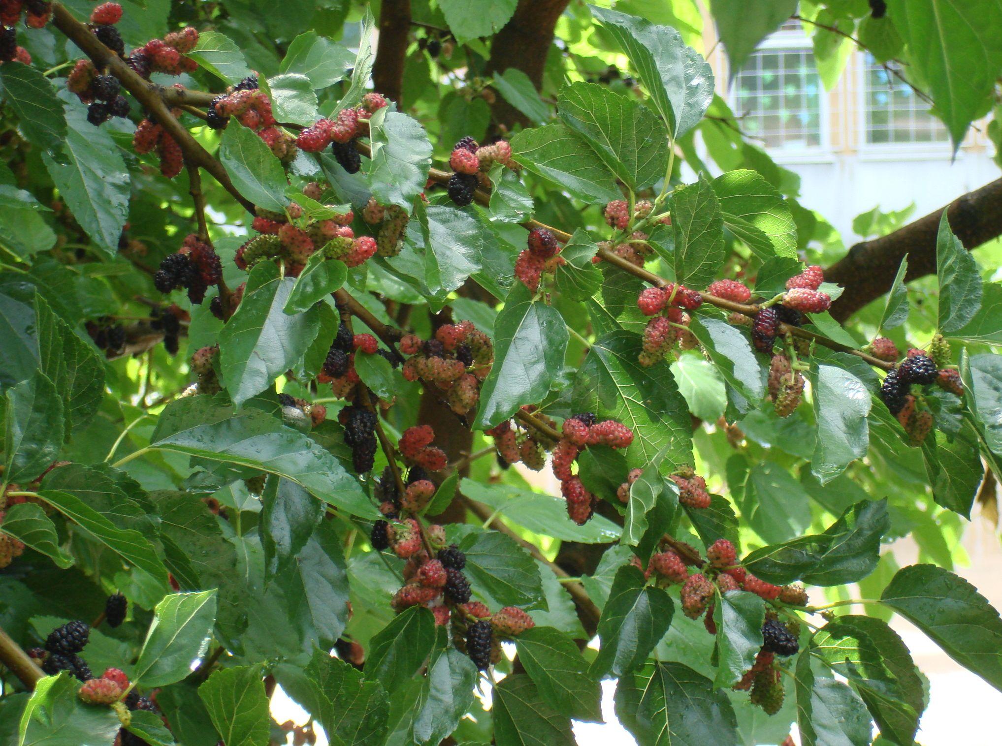 Maulbeere (Morus) - Ertragssorten - Baumschule Carya